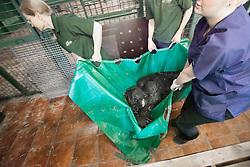 © London News Pictures. 23/06/2013. Hythe, Kent, UK (EMBARGO UNTIL 24/06/13). Keepers carry Kishi one of the gorillas to her crate. A critically endangered western lowland gorilla family from Port Lympne Wild Animal Park are bound for Gabon in Africa as part of The Aspinal Foundation's Back to the Wild campaign. Djala, a 30 year old silverback, four mothers and four offspring embark on a unique 6,000 mile journey back to the wild courtesy of its partners DHL. Picture credit Manu Palomeque/LNP