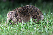 A hedgehog in the garden on Tuesday 3 July 2018.