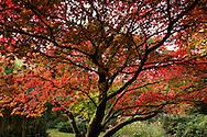 A crimson coloured acer tree in the Ramster Garden, Chiddingford, Surrey, UK