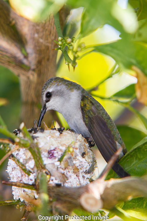 Female hummingbird feeding and caring for her new hatchling's.