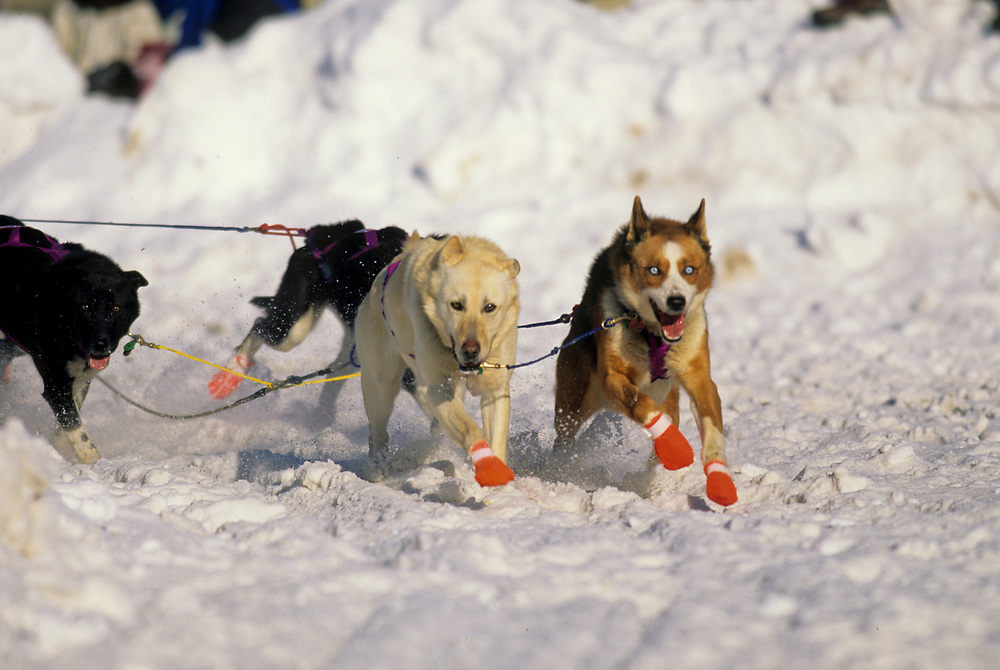 Alaska. Sled dogs in the Iditarod.