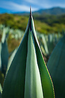 Agave plant used for making Mezcal in Oaxaca, Mexico.  Megay