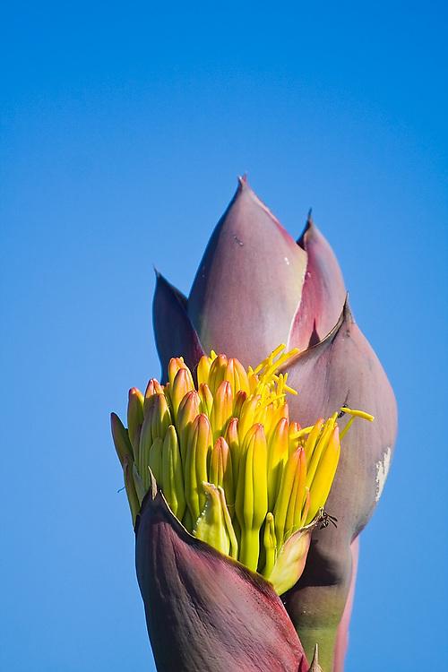 Petals emerge from the fresh flower of a coastal century plant (Agave shawii) on the coast at La Bufadora near Ensenada, Baja California Norte, Mexico.