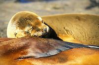 Galapagos<br /> sea lion and his mother - Ecuador