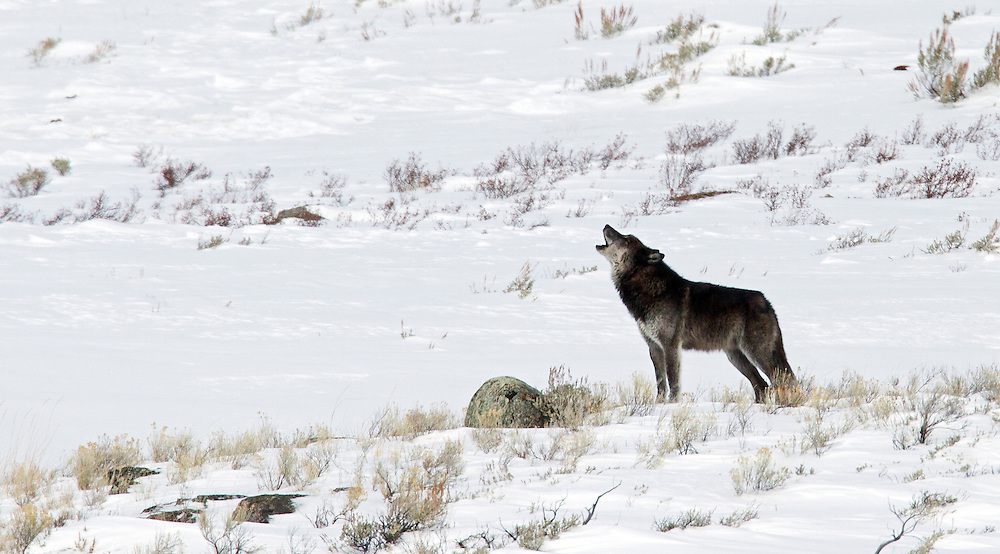 Wolf 838M, also known as Big Blaze of the Blacktail Wolf Pack, calls to his packmates on the other side of the valley during the early morning hours in Yellowstone Park.