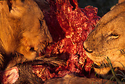 Lions feeding on wildebeet
