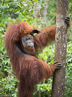 A wild, dominant male Bornean orangutan (Pongo pygmaeus) holding on to a tree in Tanjung Puting National Park, Borneo,, Indonesia.