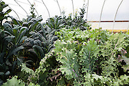 Odlingar i tunnelväxthus hos Oceanside Farms, Homer, Alaska, USA