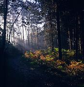 Light shining sideways into coniferous forest glade