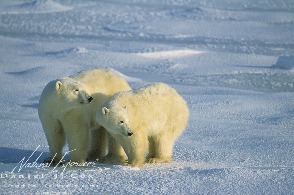 Polar Bear mother and cub waiting for the Hudson Bay ice to freeze over. Canada