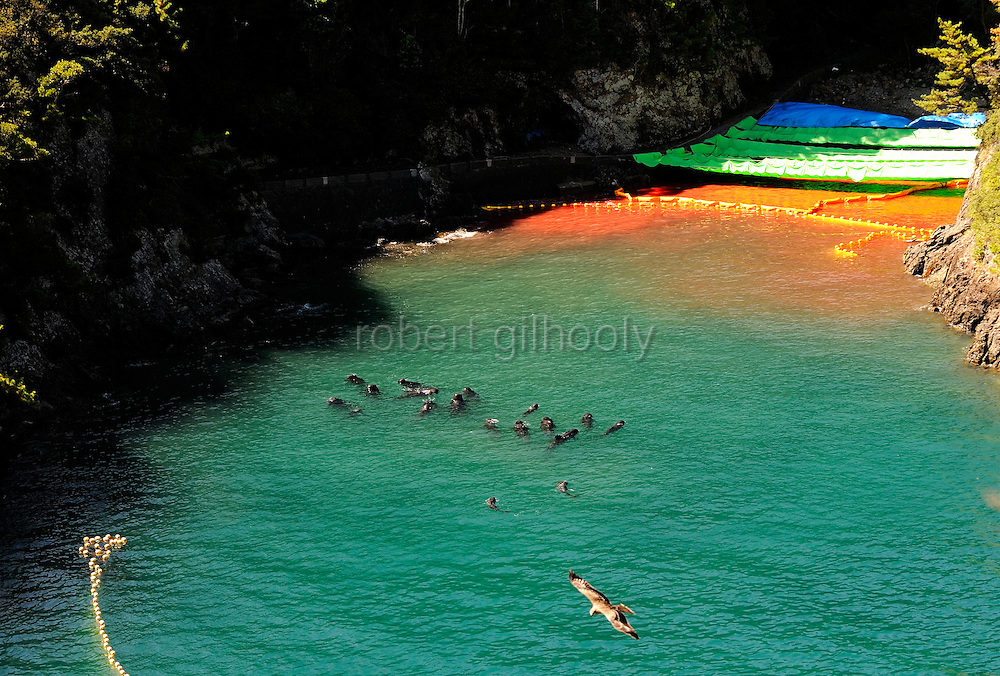 """Dolphins swim near """"killer cove"""" in Taiji, Japan on 10 September  2009. At top left of the picture, between where the cliff meets the bloodied water and the yellow floats, is the discarded body -- floating upside down, of what appears to be a baby bottle nose dolphin..Photographer: Robert Gilhooly..."""