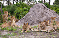 A group of lions (Panthera leo) near a termite mound in the Okavanga Delta region of Botswana.