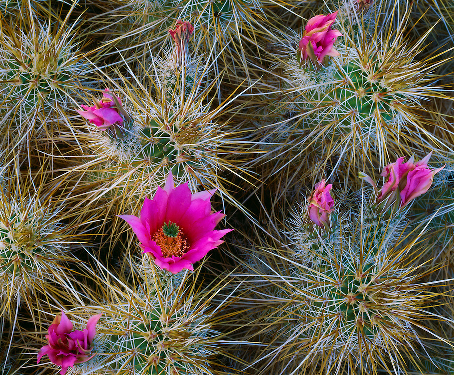 0660-1013 ~ Copyright:  George H. H. Huey ~ Strawberry hedgehog cactus [Echinocereus engelmannii].  Mojave Desert.   Anza-Borrego State Park, California.
