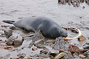A female southern elephant seal lies adjacent to a whale bone in the Falkland Islands