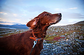 Dogs - The irish setter - Rødrypas Tell