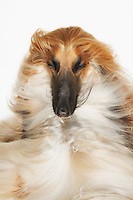 Afghan hound eyes closed windblown fur close-up