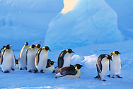 Emperor penguin procession, Aptenodytes forsteri, Antarctica