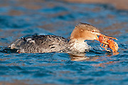 Red-breasted Merganser, Mergus serrator, female, feeding on crayfish, St. Clair River, Michigan