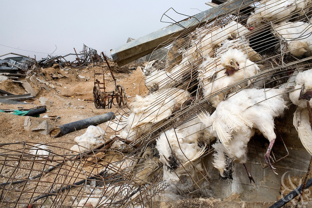 The corpses of dead chickens lie inside smashed pens following the recent 22 day Israeli military operation inside Gaza January 24, 2009 in the village of Zeitoon. Damage from the Israeli operation is estimated at nearly 2 billion dollars.