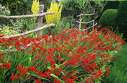 Crocosmia 'Lucifer' and Verbascum olympicum growing in the High Garden at Great Dixter