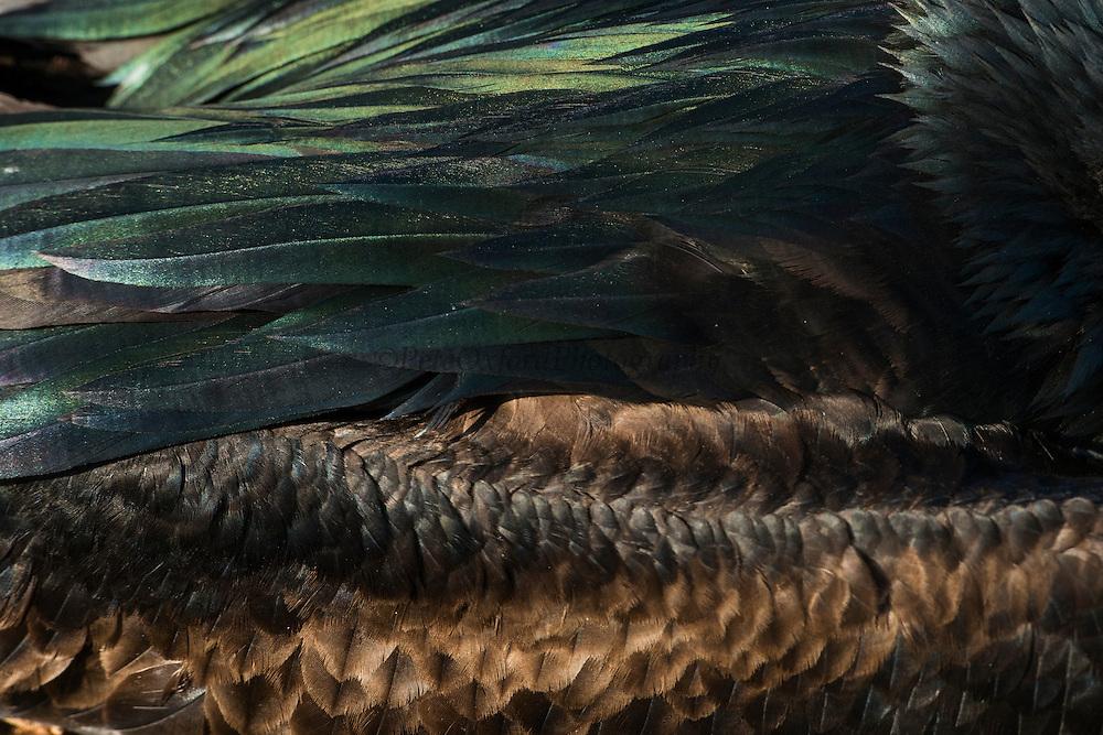 Great Frigate Bird (Fregata minor ridgwayi)<br /> North Seymour<br /> Galapagos<br /> Ecuador, South America