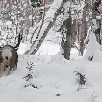 muledeer buck moving toward muledeer buck during rut deep snow winter fir forest