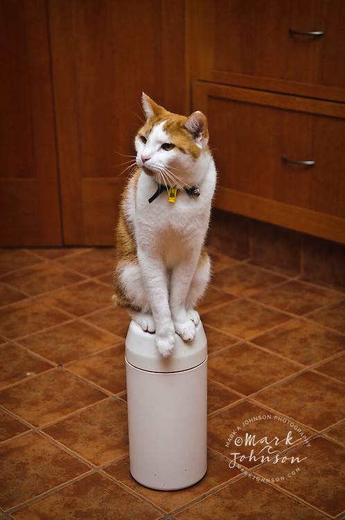 Pet cat trained to balance on a food container