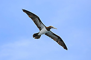 Brown Booby (Sula leucogaster) flying near the Papagayo Peninsula on the Pacific coast of Costa Rica.