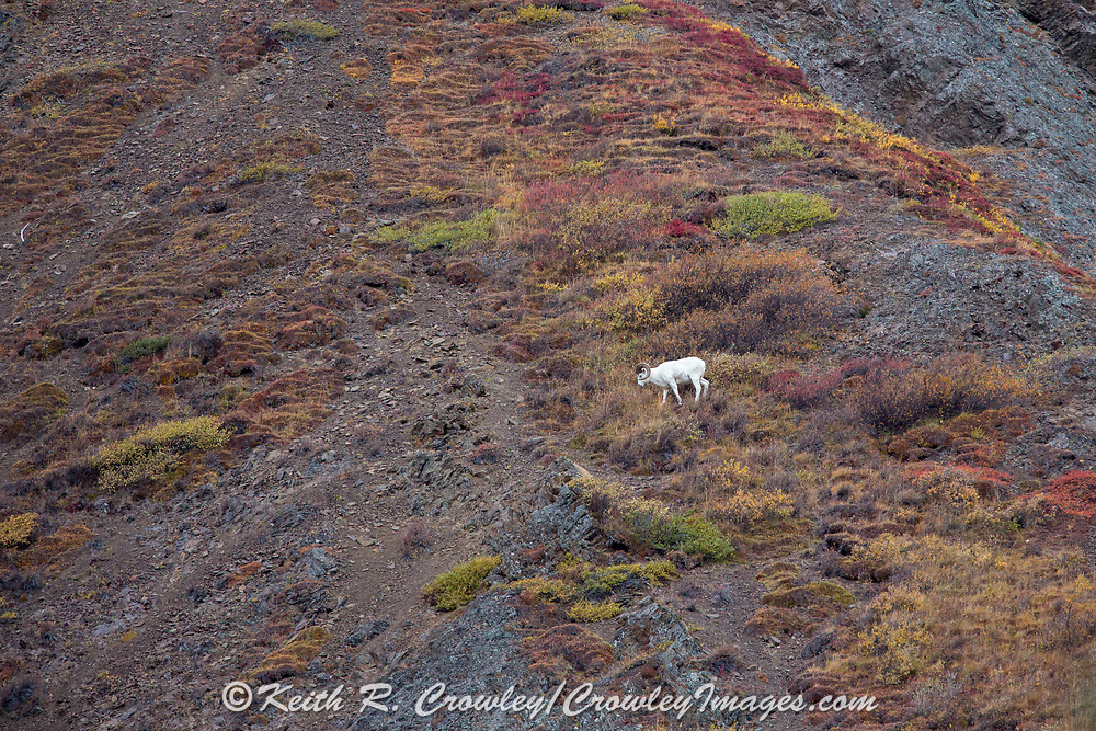 Mature Dall Sheep ram in autumn mountain habitat