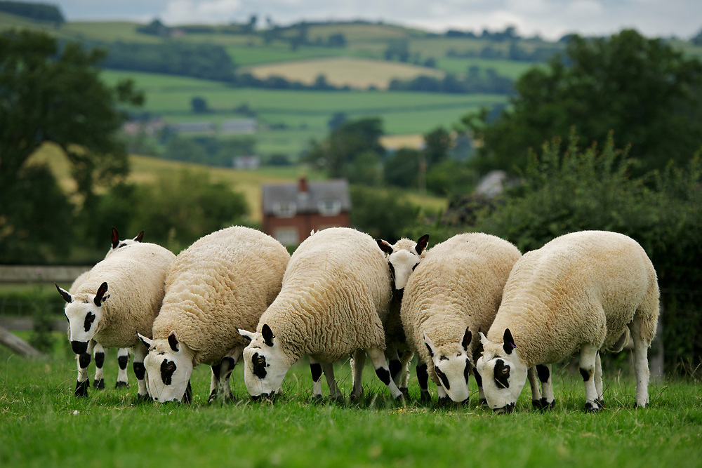 Kerry Hill sheep in Wales. The Kerry Hill Breed is from Powys, on the English/Welsh borders, and it derives its name from the village of Kerry, near Newtown. There are records of this distinctive breed in this area dating back to 1809, and the first Flock Book was published in 1899 with 26 Members.<br /> <br /> A well balanced sturdy sheep with ears set high and free from wool. A black nose and sharply defined black and white markings on the head and legs. Both ewes and rams are hornless. It is a handsome sheep, with a dense fleece, which is usually white. The fleece handles well, and is amongst the softest of British Wools. Average staple length is 10 cm (14 inches). Average weight of fleece is 2.75kgs (6lbs). Bradford count 54-56's.<br /> <br /> Robert and Jean Price of Pentrenant farm in the Vale of Kerry, mid Wales. The sheep are kerry Hills and the Prices have kept them for many years and Robert judged them at the Royal Welsh this year.  <br /> <br /> Additional Contacts: <br /> Richard Broad<br /> Rare Breeds Survival Trust<br />  Stoneleigh Park, Nr. Kenilworth,  Warwickshire<br /> UK     DCV8 2LG<br /> Phone:  01834 860886<br /> 07772 007399<br /> Email: r.broad@rbst.org.uk<br /> <br /> Sally Renshaw<br /> Rare Breeds Survival Trust<br /> Phone:  +44 024 7669 6551<br /> +44 (0)2476 698764<br /> Email: sally@rbst.org.uk