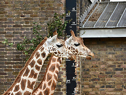 © Licensed to London News Pictures. 22/08/2012. Giraffes are measured whilst feeding. London, UK ZSL London Zoo conducts its annual weigh-in. Each of the 16,000 animals are measured and weighed. The information recorded is sent to zoos around the world. Photo credit : Stephen Simpson/LNP
