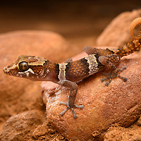Mocquard's Madagascar Ground Gecko (Paroedura bastardi), juvenile.