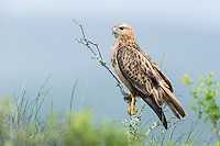 A Steppe Buzzard stares intently from a high perch. Addo Elephant National Park. Eastern Cape. South Africa