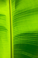 Detail of a large leaf&amp;#xA;<br />