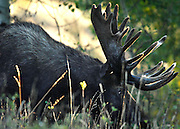 NEWS&GUIDE PHOTO / PRICE CHAMBERS.A bull moose makes his way into woods near Oxbow Bend on Tuesday morning as sunlight filters through trees.