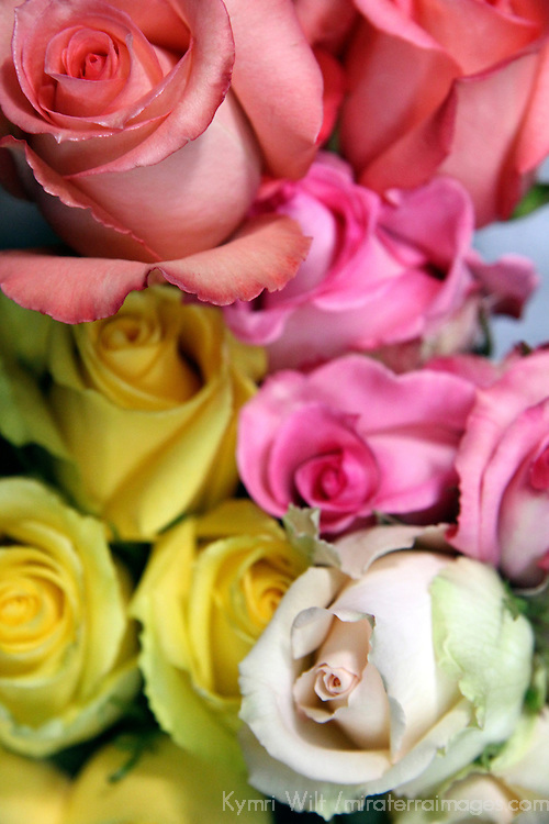 South America, Ecuador, Cayambe. Assorted fresh rose bouquets.