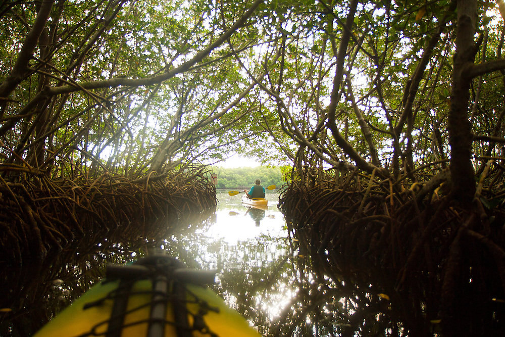 Weedon Island Preserve volunteer Perry Strom makes his way through the mangrove tunnels and into open water along the paddling trail at Weedon Island Preserve. Nestled between the thriving cities of Tampa and St. Petersburg, Weedon Island Preserve offers a fun and easy daytrip for fishing, hiking and paddling. 2 mile and 4 mile paddling trails meander through mangrove tunnels, over seagrass flats and around mangrove islands. The preserve also offers ample wildlife viewing on hiking trails and from an observation tower. .Photo by James Branaman