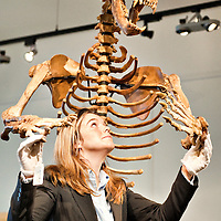 London January 14th A Bonham's employee with a  enormous ixe age cave bear skeleton that  will go under the hammer at the annual BonhamsThe  Gentlemen's Library Sale on January 20th...***Agreed Fee's Apply To All Image Use***.Marco Secchi /Xianpix. tel +44 (0) 771 7298571. e-mail ms@msecchi.com .www.marcosecchi.com