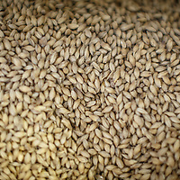 Barley at Chichibu Distillery in Chichibu, Saitama Prefecture, Japan, November 4, 2015. Gary He/DRAMBOX MEDIA LIBRARY
