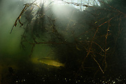 Northern pike ( Esox lucius), lurking in lake, Germany | Hecht (Esox lucius) lauert versteckt im See. Deutschland