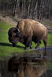 July 21, 2019 - Buffalo By River Bank (Credit Image: © Richard Wear/Design Pics via ZUMA Wire)