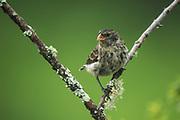 Medium Ground Finch (Geospiza fortis)<br /> Isabela Island, GALAPAGOS,  Ecuador, South America<br /> endemic species