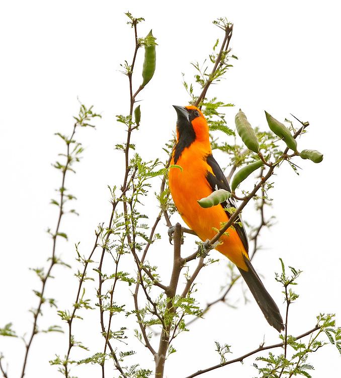 Altamira Oriole in Tree