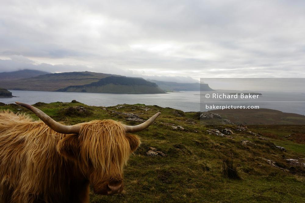 Longhorn cow overlooking Loch Na Keal, near Araronich, Isle of Mull, Scotland.