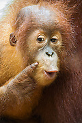 Sumatran Orangutan<br /> Pongo abelii<br /> 2.5 year old baby<br /> North Sumatra, Indonesia<br /> *Critically Endangered