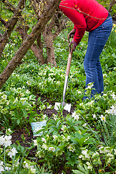 Planting summer flowering bulbs in a border (Galtonia)