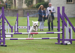 Dogs of all sizes took part in the agility display during A Dogs' Day Out at Traquair House, Innerleithen. pic copyright Terry Murden @edinburghelitemedia