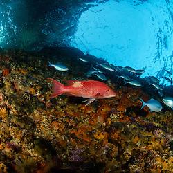 Red Pigfish, Bodianus unimaculatus, Northern Arch