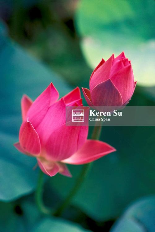 Lotus flowers, China