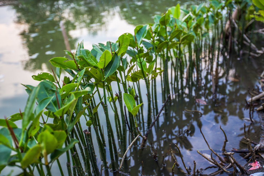 CAPTION: Local community members in Tapak have been planting mangrove seedlings alongside fishponds to prevent further erosion and reduce the impact of flooding. LOCATION: Tapak, Semarang, Indonesia. INDIVIDUAL(S) PHOTOGRAPHED: N/A.